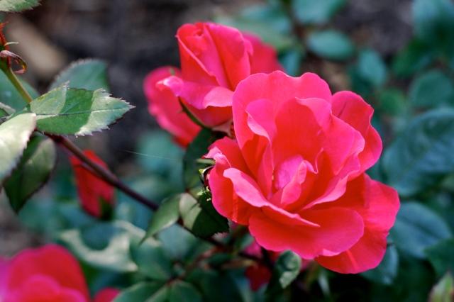 rose_close