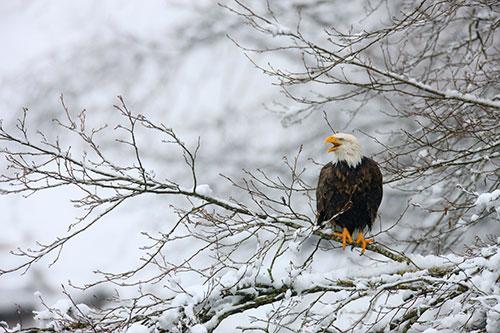 baldeagle-winter-calling
